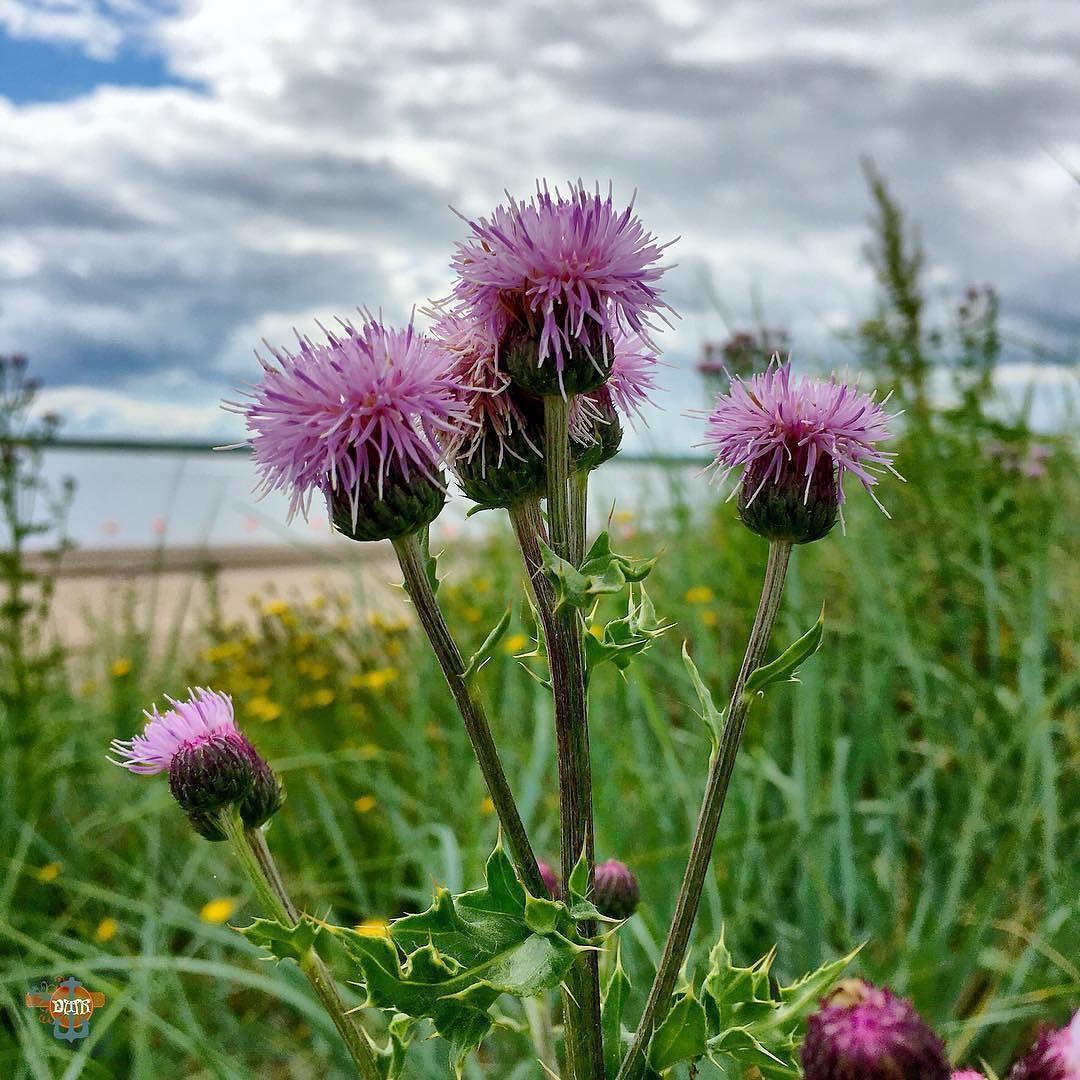 #scottishthistle #seaside #sunnyday #broughtferrybeach #broughtyferry #scotland #purple #nationalflowerofscotland Photos from my travels