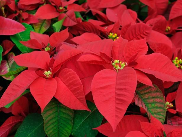 Poinsettia Care Through Winter And Beyond Poinsettia Plant Poinsettia Care Christmas Plants