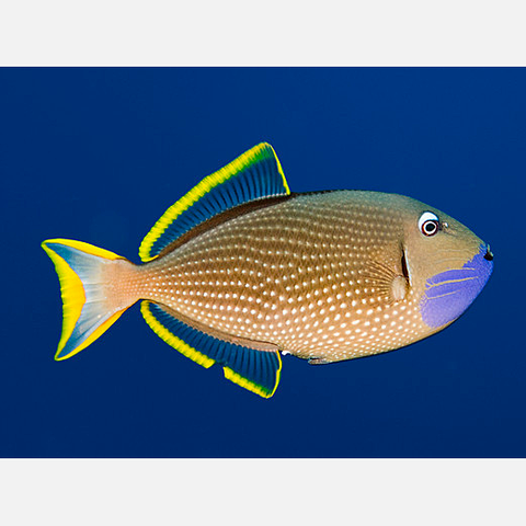 Blue Throat Triggerfish Xanthichthys Auromarginatus Marine Fish Salt Water Fish Ocean Fishing