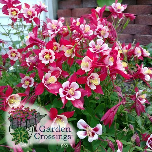 If You Enjoy Columbines And Love The Look They Bring To Your Garden Then Add Aquilegia Songbird C Landscaping With Rocks Beautiful Flowers Rock Garden Plants