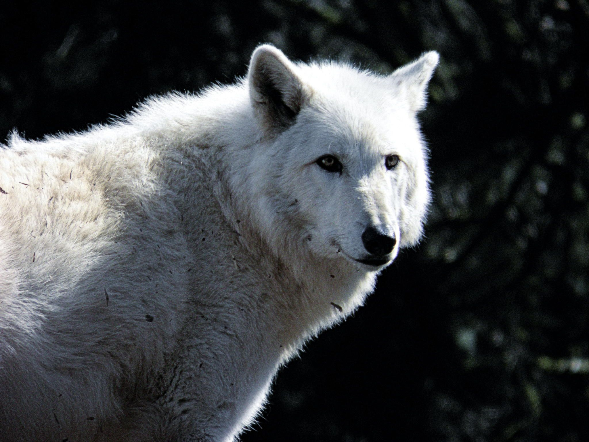 White Wolf (With images) White wolf, Wolf, Animals