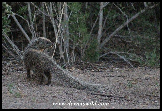 Cape Grey Mongoose (1) Critter, Grey, Mongoose