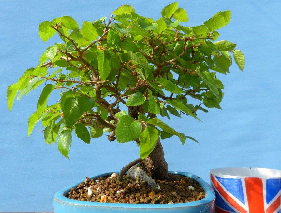 Korean Hornbeam Shohin Size Outdoor Bonsai Tree Outdoor Bonsai Tree Bonsai Trees For Sale Bonsai Tree