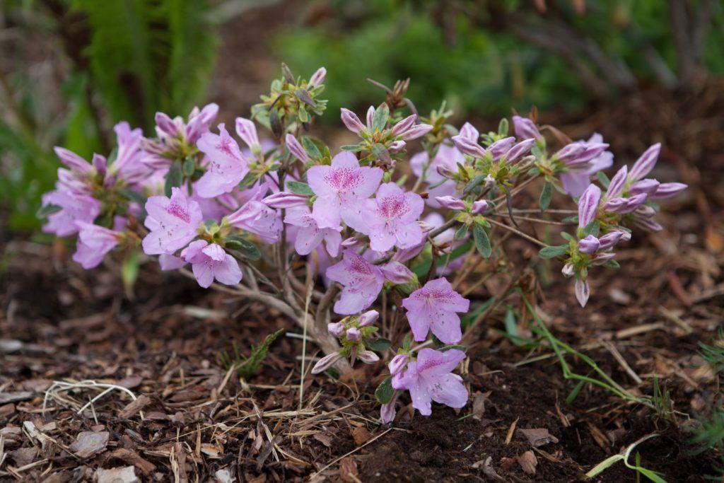 33fc907ad8b0c8 Rhododendronerde  Eigenschaften Vorteile   Kaufberatung