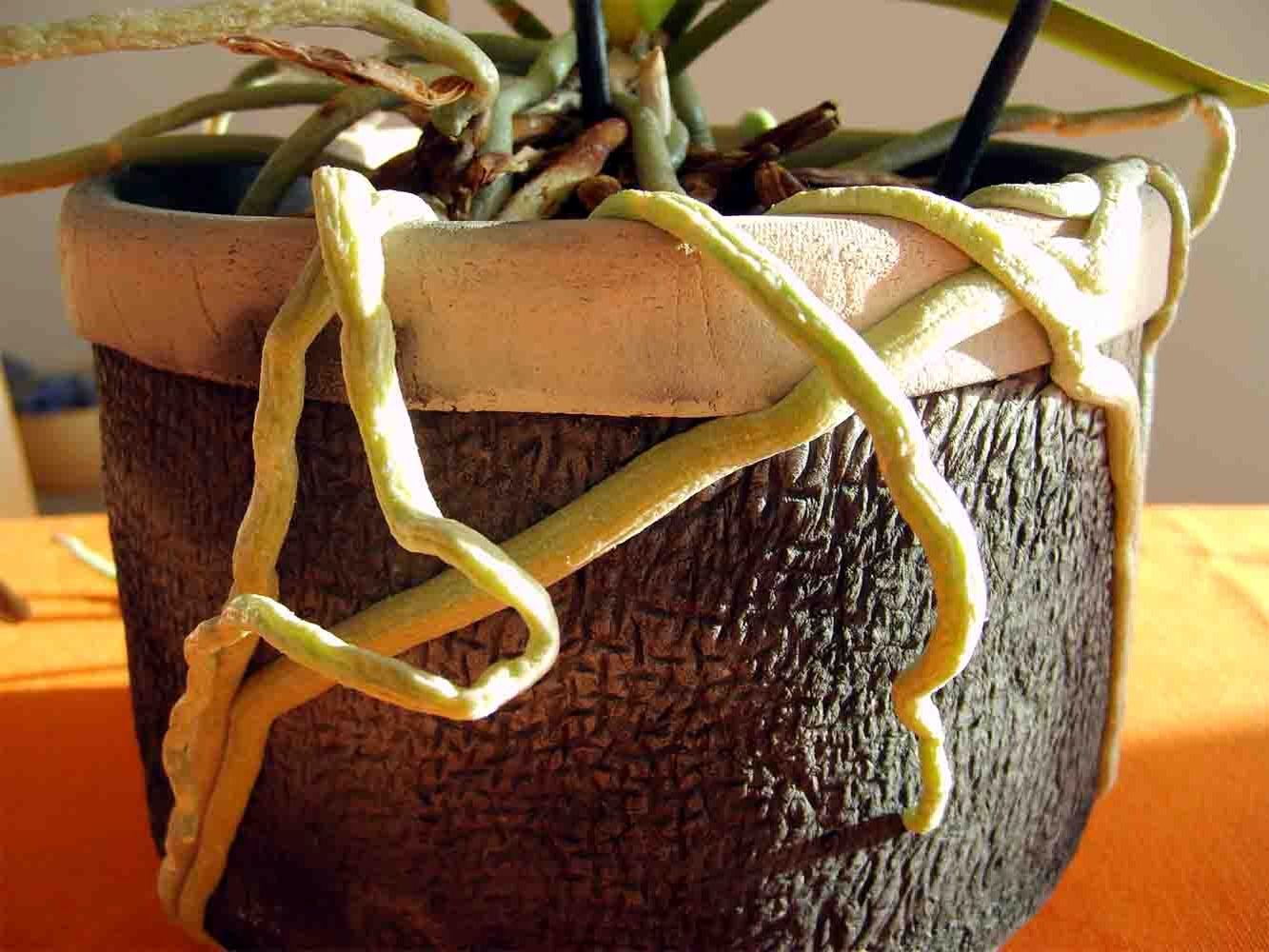 Aerial roots my first orchid orchids pinterest orchid plants