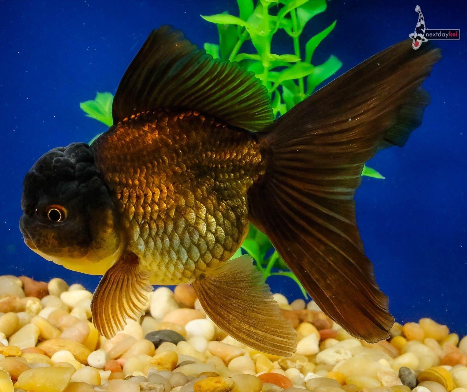 Black Thai Oranda Black Goldfish Goldfish Fish Pet