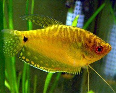Fish Identification Pacific Cod Gadus Macrocephalus Tropical Fish Aquarium Fish Tropical Fish Aquarium