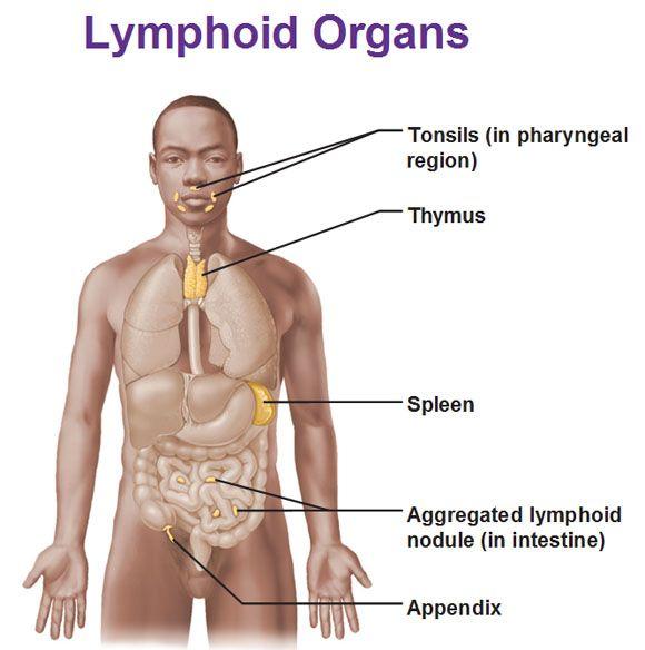 Λεμφικά όργανα. lymphoid organs, tonsils, thymus, spleen, aggregated ...