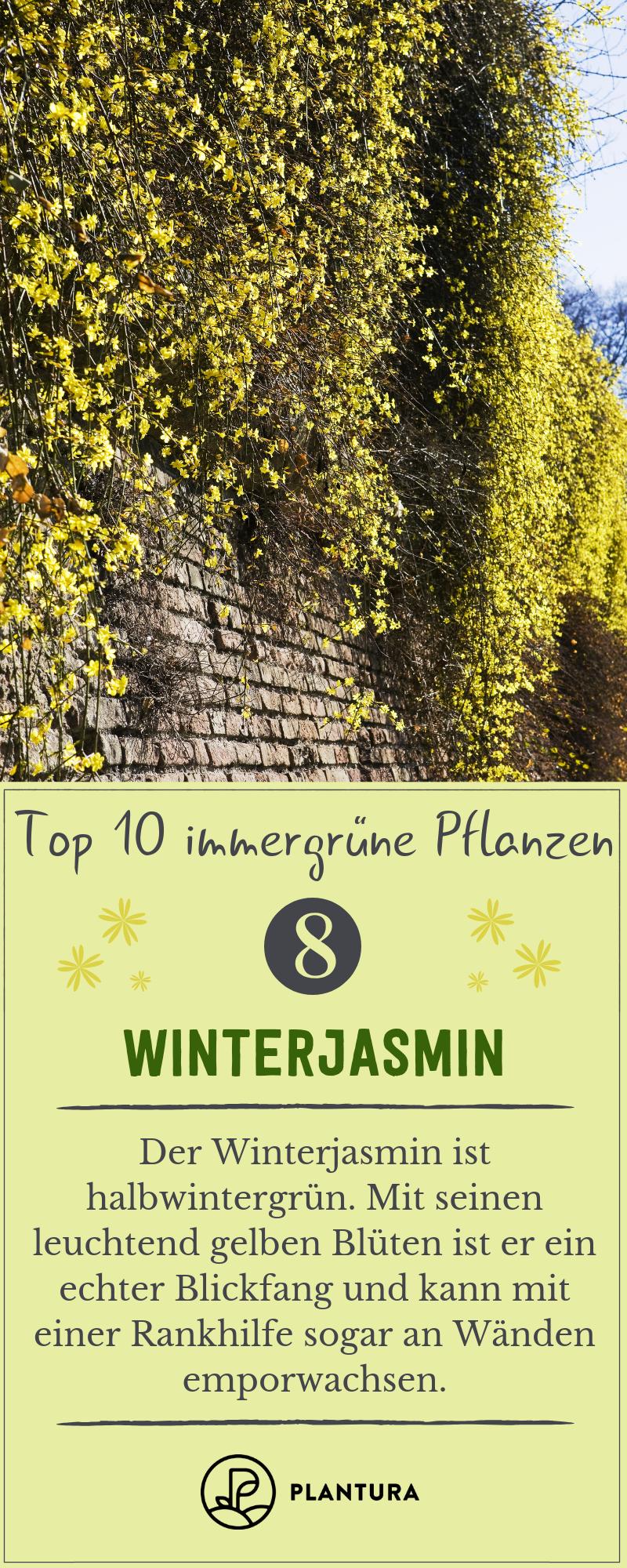 Immergrüne Pflanzen: Die 10 besten für den Garten - Plantura