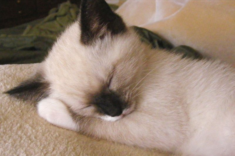 Baby Siamese Kitten With White Paws Siamese Cats Blue Point