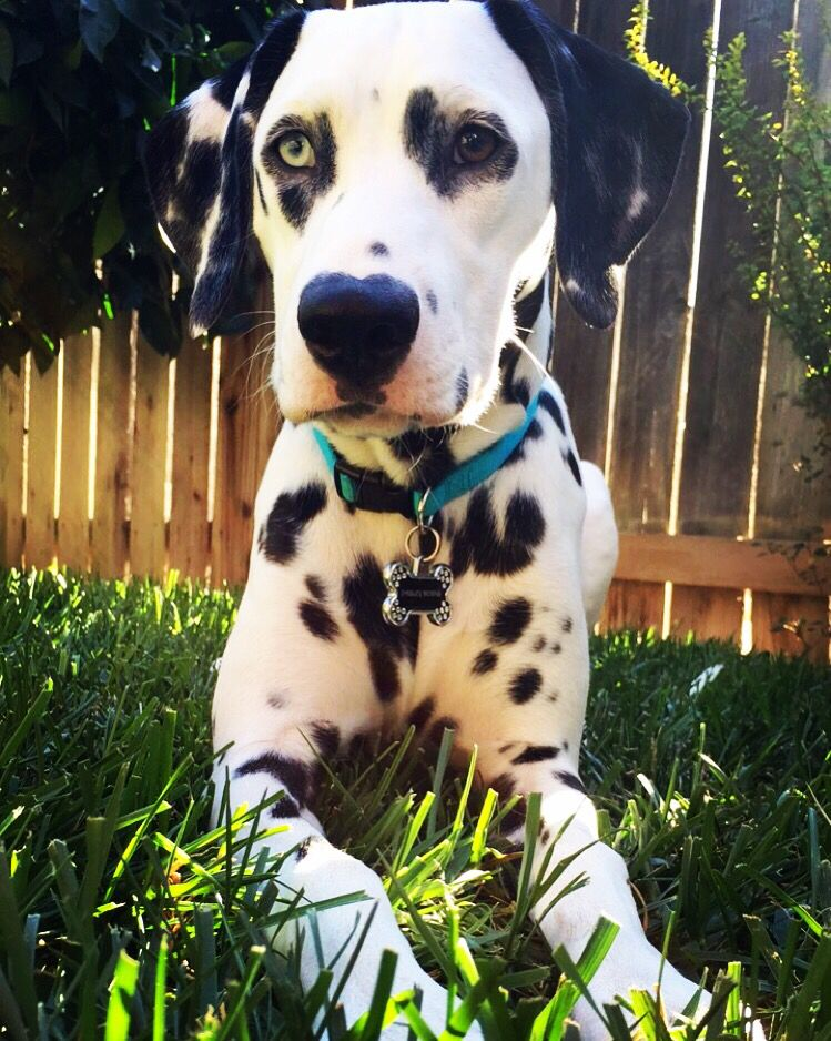 Dalmatian One Blue Eye Beloved Dog Cute Animals Cute Puppies