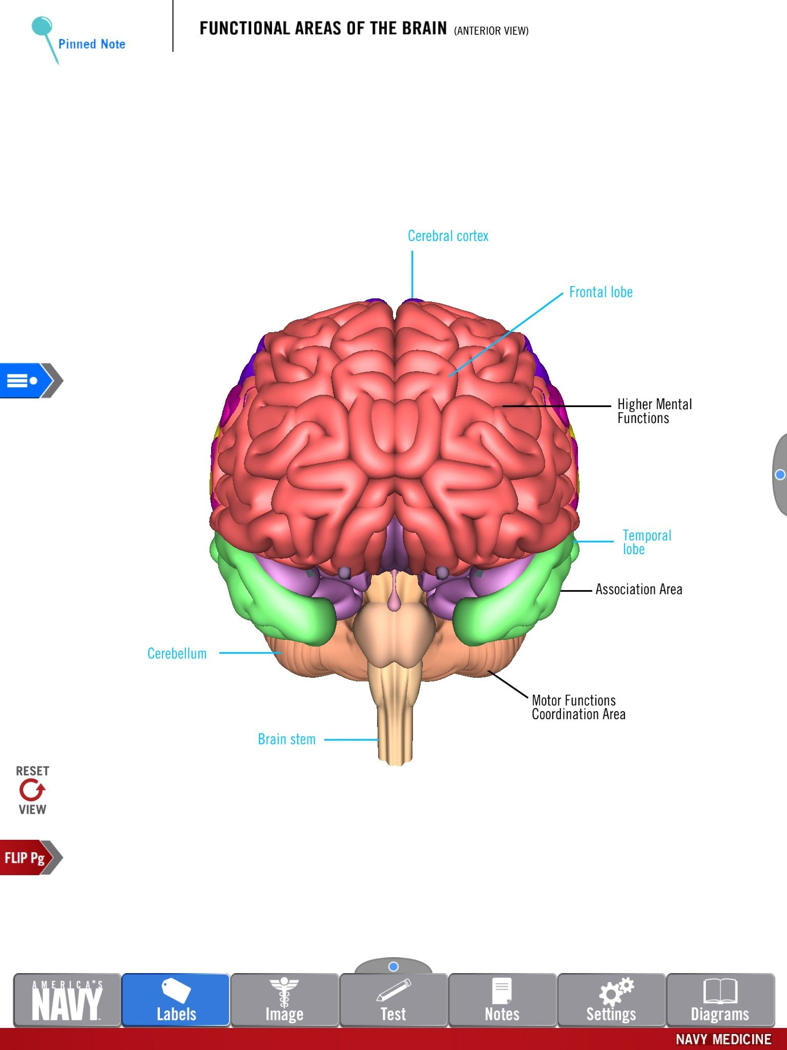 Diagram of the Functional Areas of the Brain from the free Anatomy ...