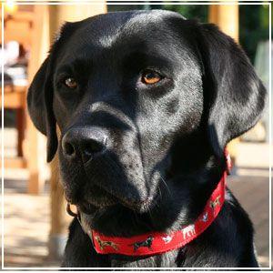 Google Image Result For Http Www Bigdogboutique Com Productcart Pc Catalog Lab Dog Jpg Labrador Retriever Dog Retriever Dog Labrador Retriever