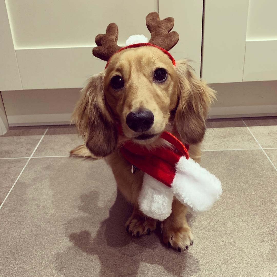 Christmas Sausage Dog In 2020 Dog Gifts Dachshund Christmas Multi Pet