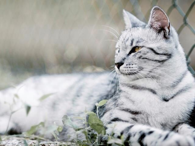Cool White And Black Gray Tabby Cat Big Cat Family Cat Breeds Cute Cats And Kittens