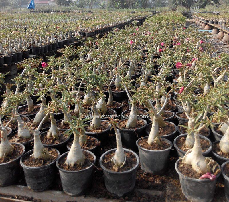 Thai Adenium Nursery