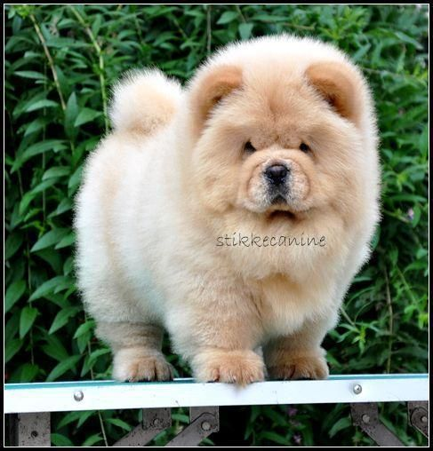 Pin On Chow Chow Mania