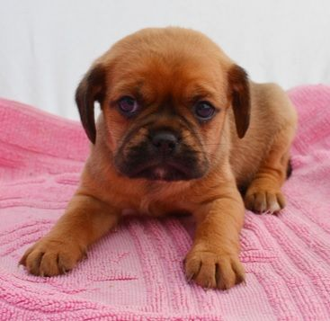 Pug And Cavalier Pugalier Pug Mixed Breeds