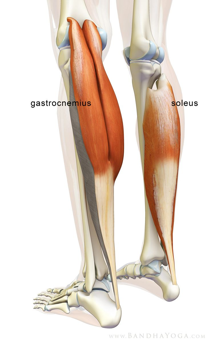 The Daily Bandha: The Gastrocnemius/Soleus Complex in Yoga | anatomy ...