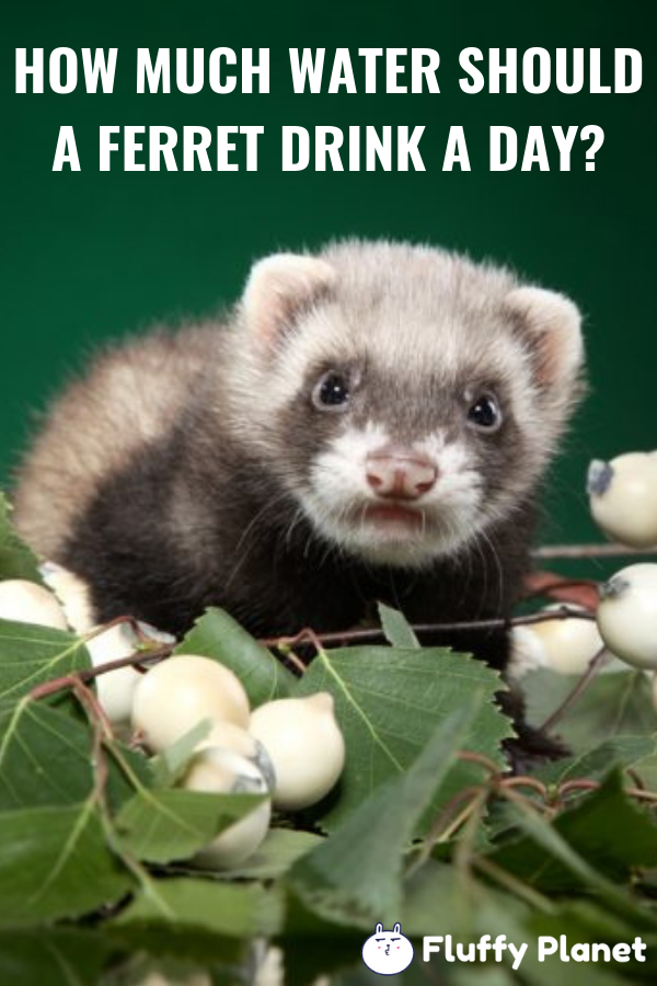 How Much Water Should A Ferret Drink A Day Pet Ferret Ferret Ferrets Care