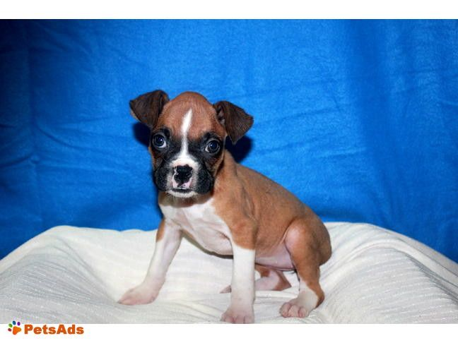 Adorbale Boxer Puppies I have some adorable Male and