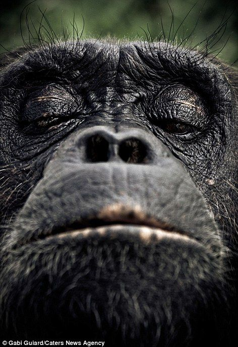 A look of disdain: One of the chimpanzees looks down his nose at the photographer