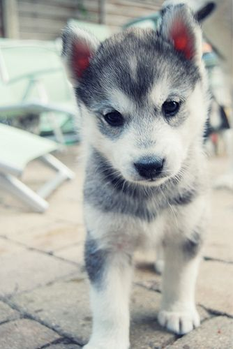 Picture of baby husky walking.