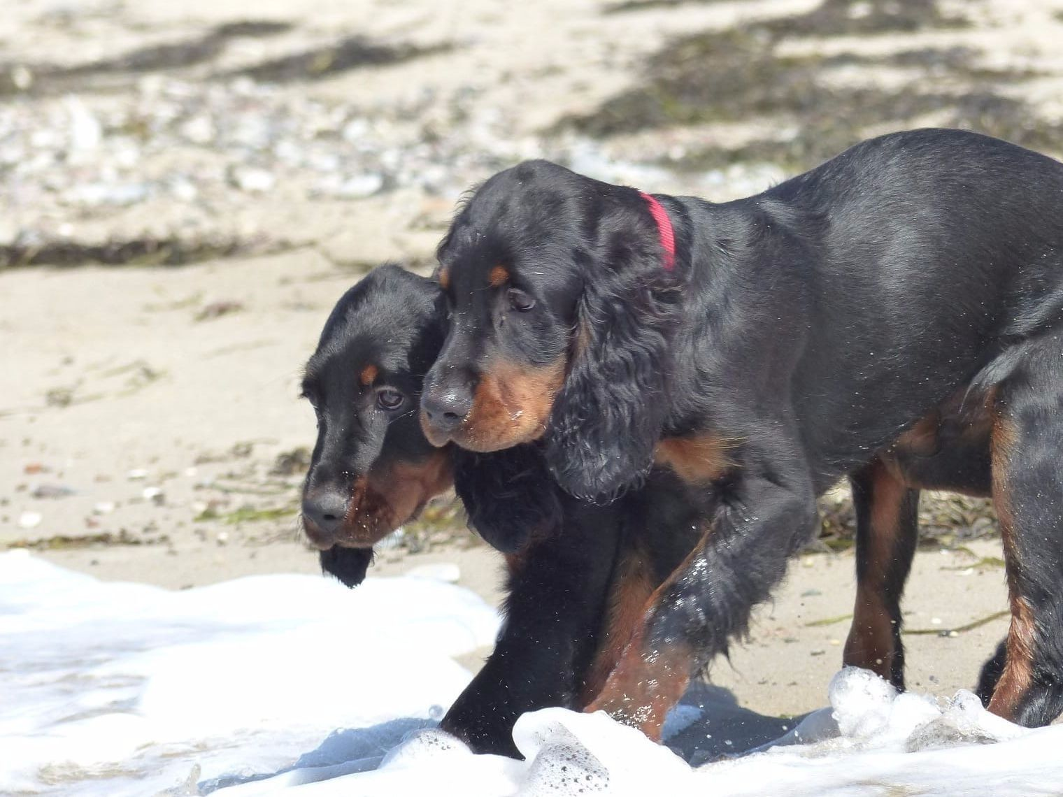 Galerie Gordon setter, Dog breeds, Dogs