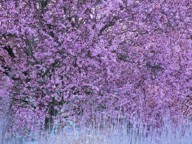 Spring Summer Spring Bloom Vancouver Island British Columbiadon White Superstock Is This A Jacaranda Tree Spring Blooms Redbud Tree Jacaranda Tree