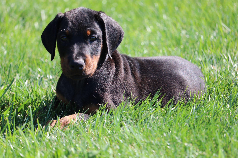 male doberman puppy where I got my Loki great breeders