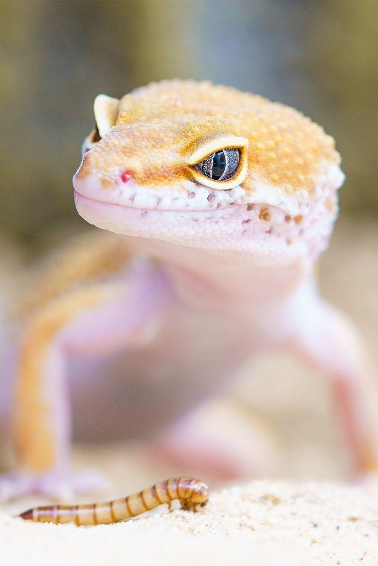 An amazing gecko in a terrarium cute gecko reptile cuteanimals