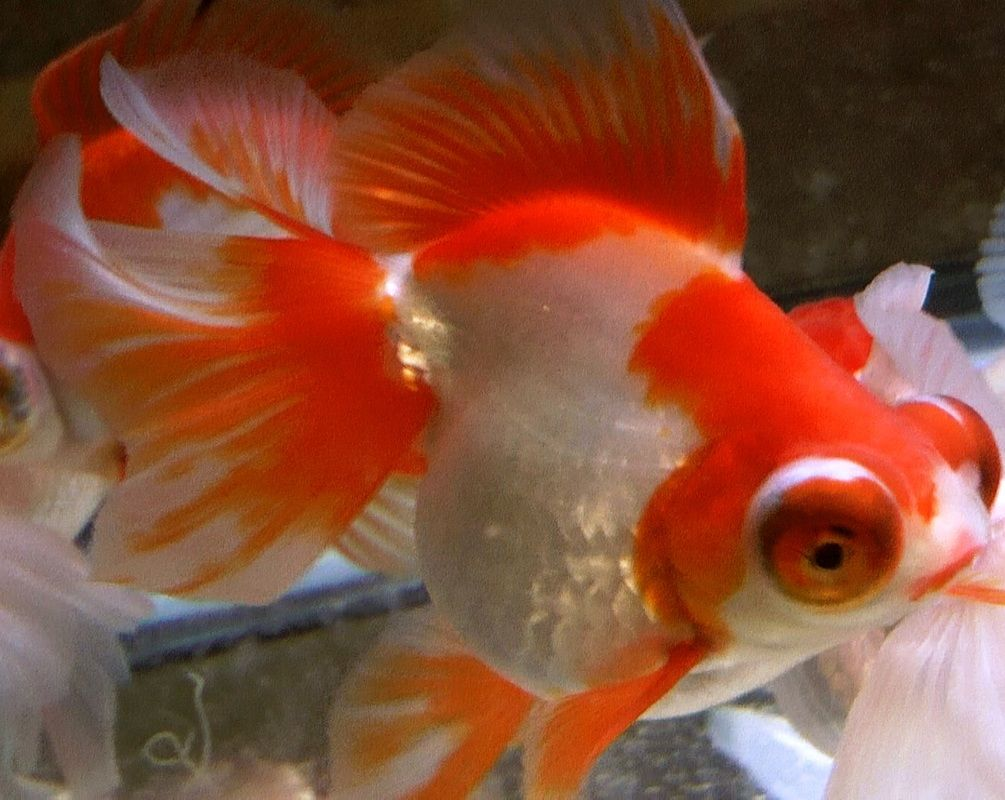 Meet Jeff Stock Available Goldfish Fish Pet Red And White