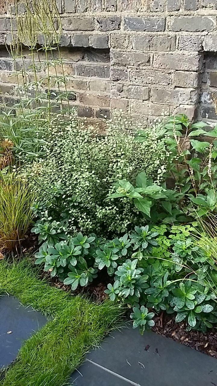 Passive Haus: evergreens Pittosporum and Euphorbia robbiae.