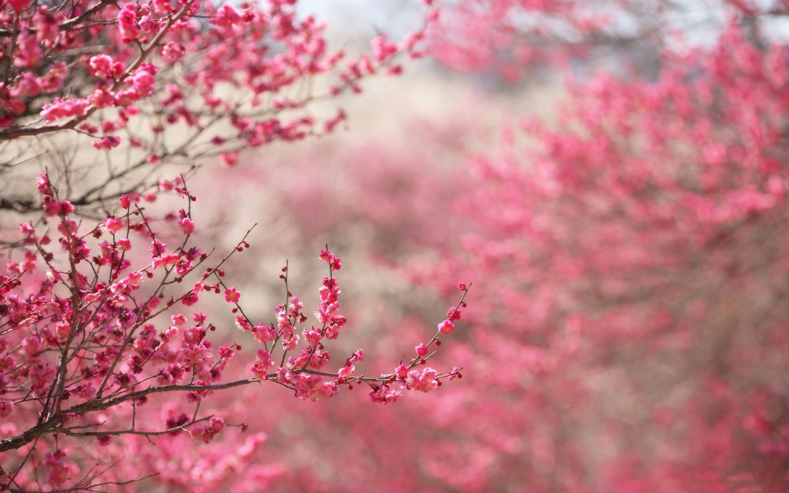 2560x1600 Beautiful Japanese Cherry Blossom Season