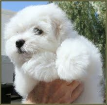 Simply Grand Charlie Brown With Images Coton De Tulear Coton