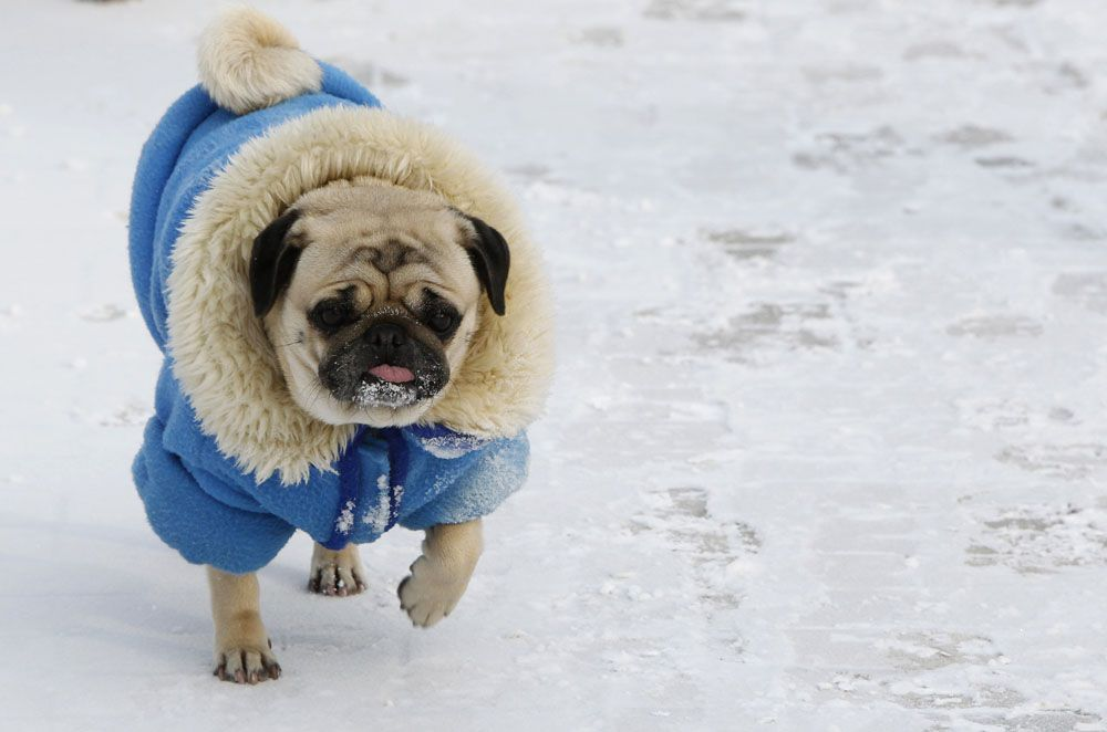Scenes From Europe S Frozen Cities Pug Love Dog Wrap Pugs
