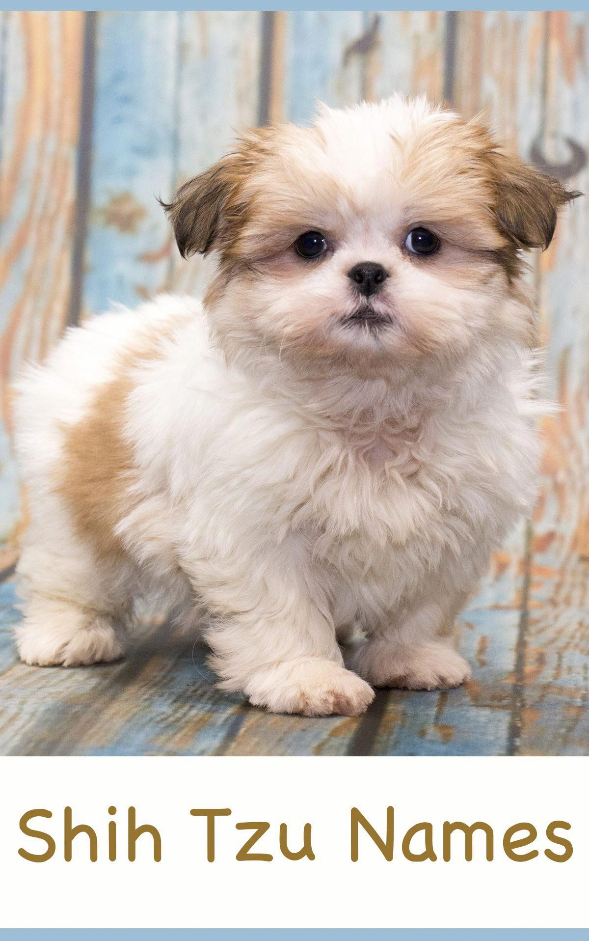 Outstanding Shih Tzu Detail Is Available On Our Web Pages Take