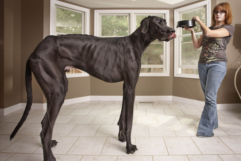 Kids Think He S A Horse Meet Zeus The Great Dane Officially
