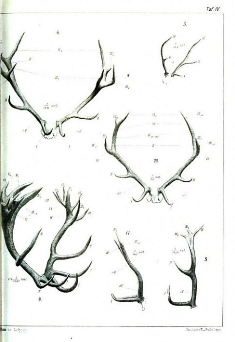 Antlers, Comparative Anatomy from Gegenbaurs morphologisches ...