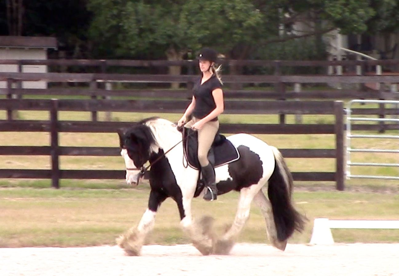 Gypsy Vanner for sale in Ocala. Westmoreland Topper is a registered 2007 Gypsy Vanner Gelding.