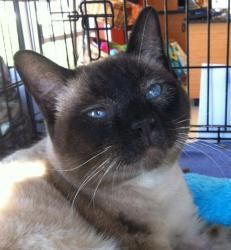 Kai Is An Adoptable Applehead Siamese Cat In Austin Tx You Can Fill Out An Adoption Application Online On Our Official Web Cute Cats Cats And Kittens Animals