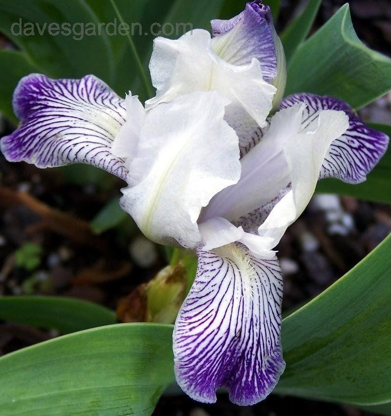 Species Spec Iris Z Z Zanzibar Kasperek 2005 Iris Flowers Garden