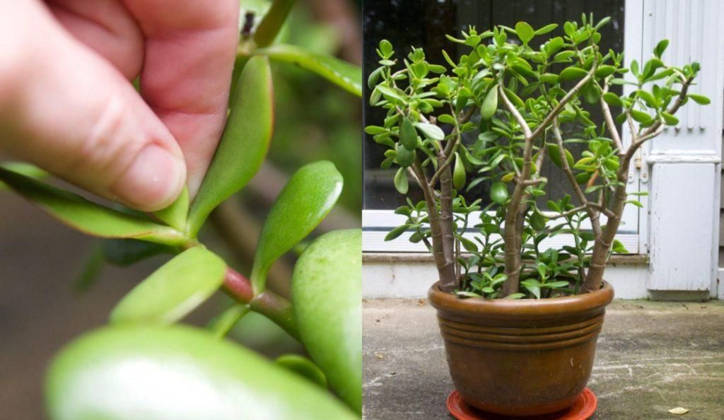 How To Prune A Jade To Get A Big Bushy Plant With Photos Jade Plant Pruning Jade Plant Care Plants