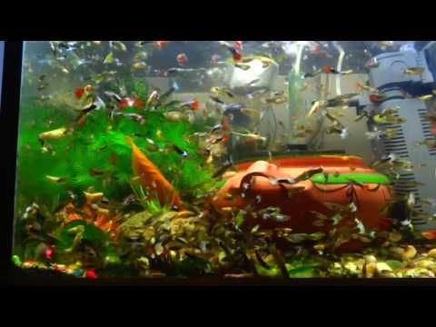 The Best Way To Feed 1 Million Guppy Fish In Your Aquarium Guppy Fish Tank Wallpaper Guppy