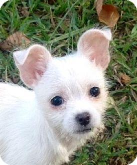 Hagerstown Md Chihuahua Shih Tzu Mix Meet Dot B Tidwell 2lbs