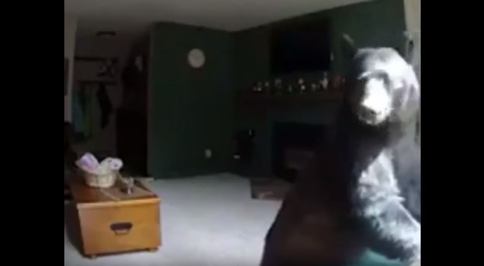 Bear breaks into vail home and plays the piano piano