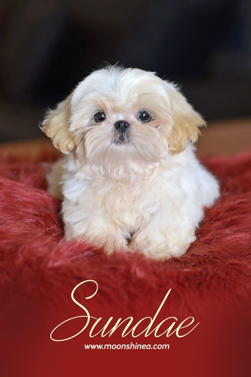 Cute White Shih Tzu Puppy Moonshinea Shih Tzu Future Mommy