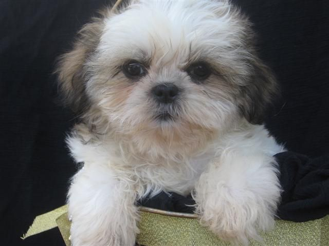 The Shih Tzu Is Really A Snugly Built Small Animal Using A Strong
