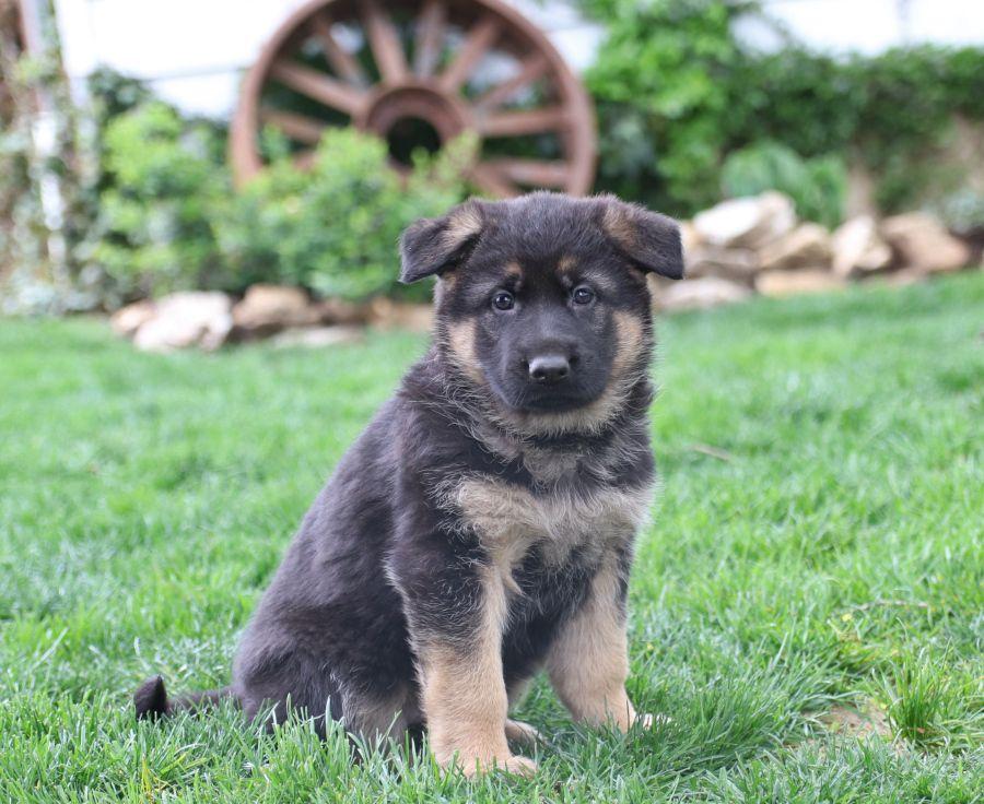 Pin By Kenslea Inge On Pups In 2020 German Shepherd Puppies Puppy Adoption Free Puppies