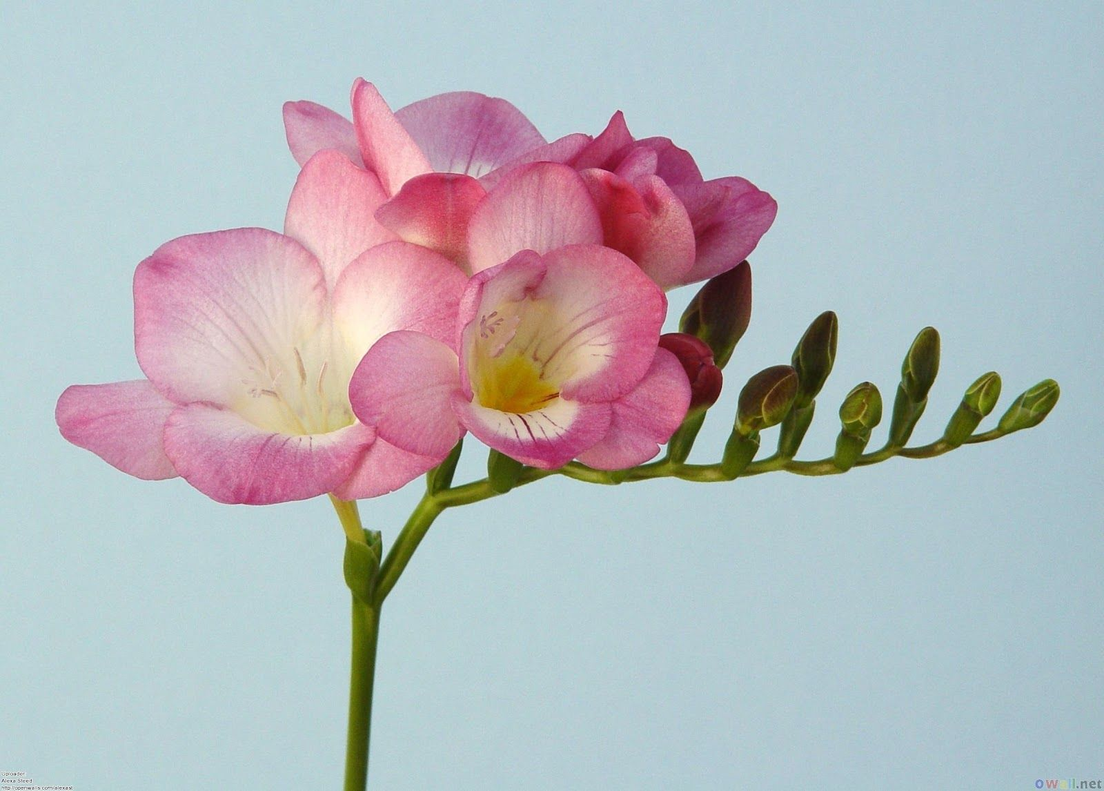 Freesia Freesia Hybrider Iridaceae Sverdliljefamilien Snitt Bryllupsdekorasjon